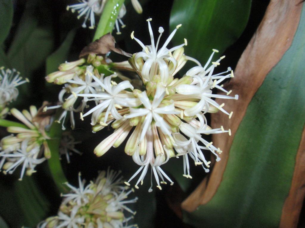 幸福の木(ドラセナ)の花拡大写真