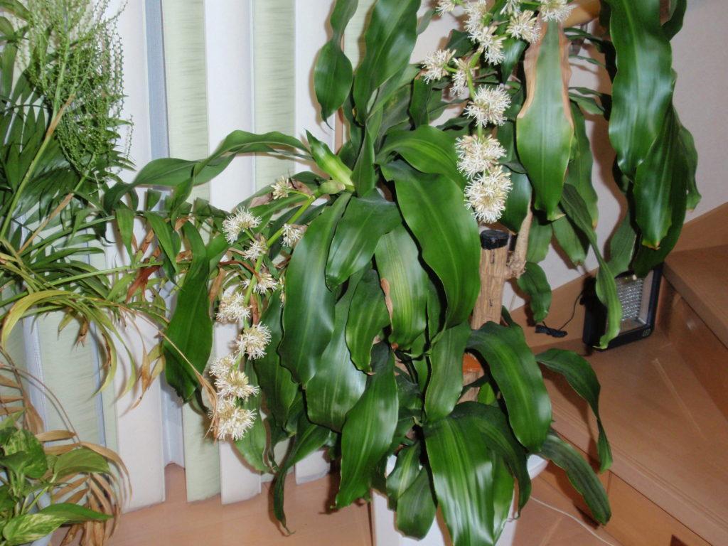 幸福の木(ドラセナ)の花