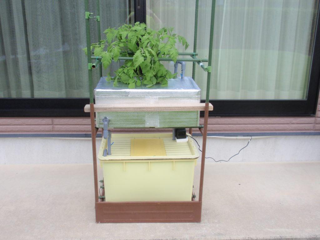 水耕栽培1か月後