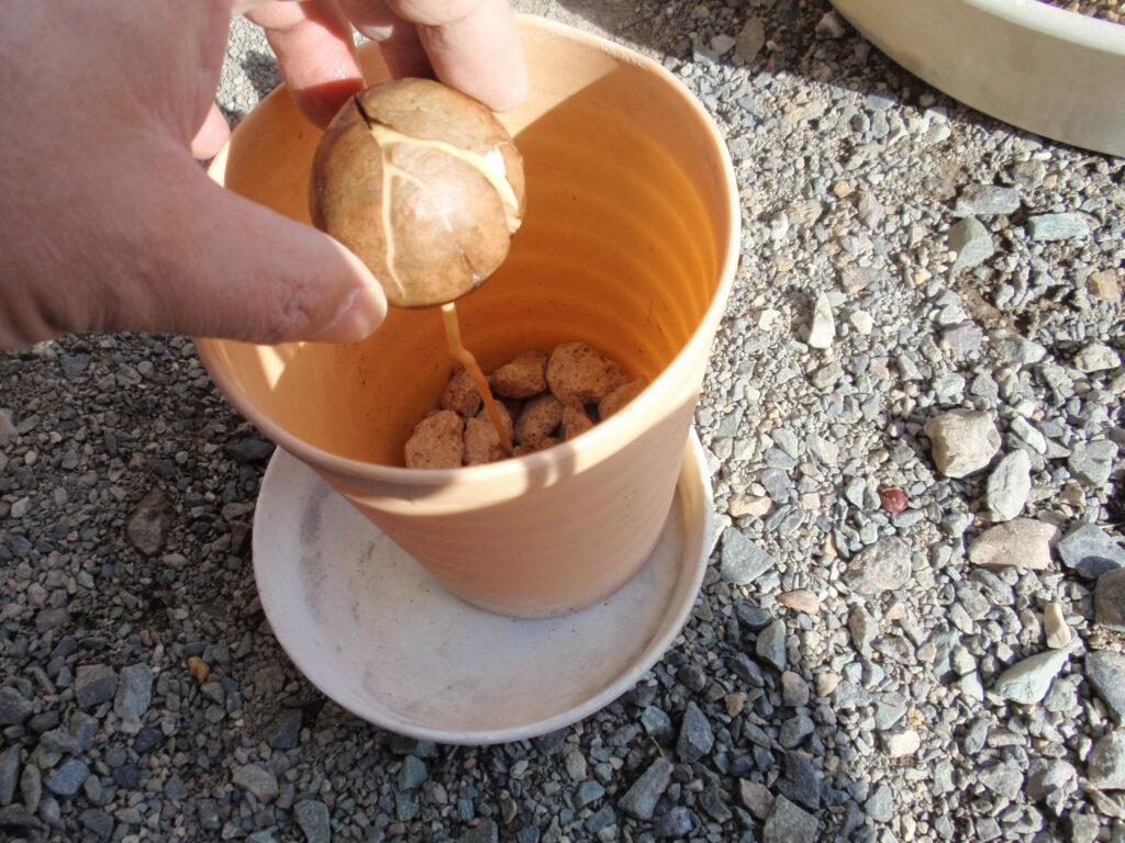 アボカドの種植え付け手順2