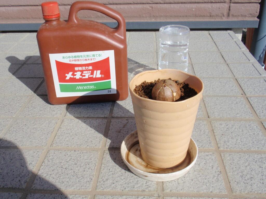 アボカドの種植え付け手順4