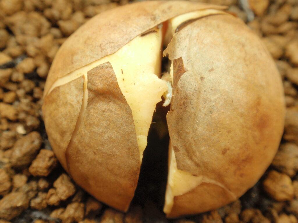 アボカドを種から育てる 2か月後 芽が出てきました