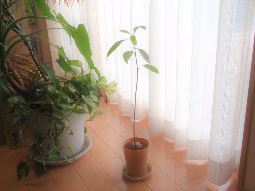 アボカドを種から育てる 105日後 46cm