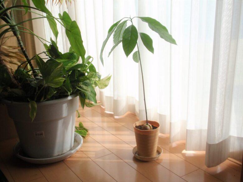 アボカドを種から栽培
