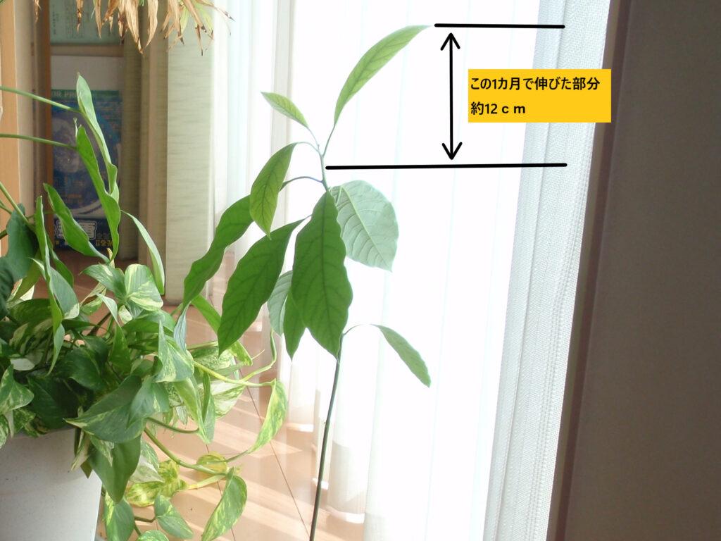 アボカドを種から栽培 5カ月後 この1カ月で12cm伸びました
