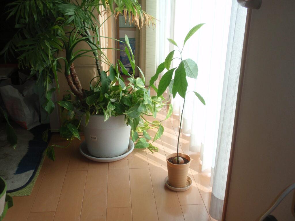 アボカドを種から栽培 5カ月後