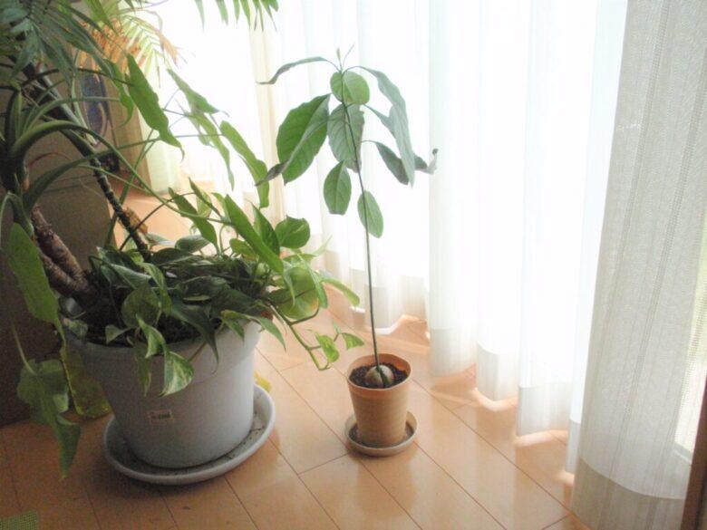 アボカドを種から栽培 7カ月後