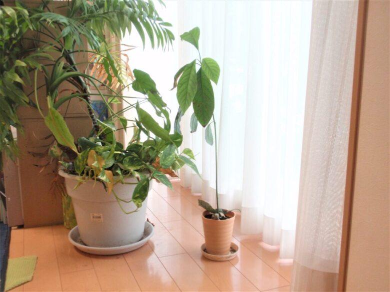アボカド栽培8カ月