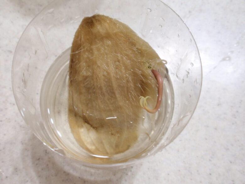 マンゴーを種から栽培 17日後 種の上下を入れ替えて水耕栽培続行