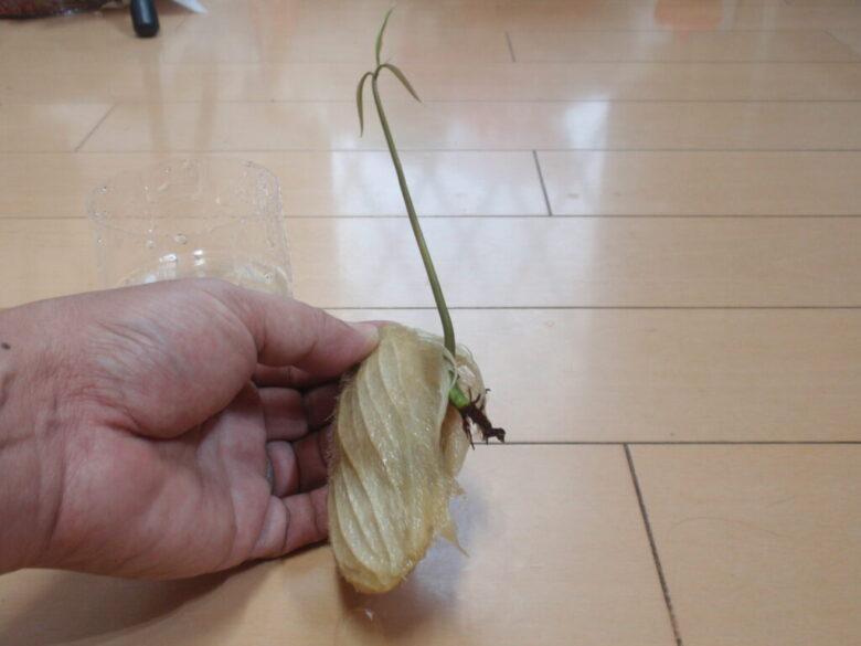 マンゴーを種から栽培 3週間後 根はあまり成長していません