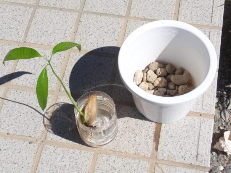 マンゴーの種 土植え方法1