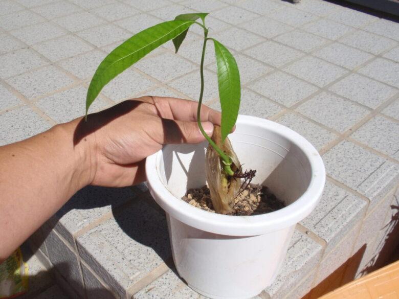 マンゴーを種から栽培 土へ植付け