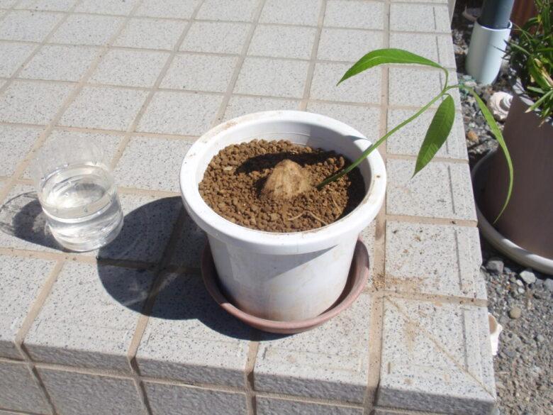 マンゴーの種 土植え方法3
