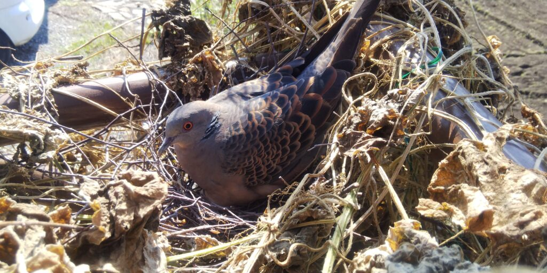 トラクター小屋の隅で鳩が卵を温めています。