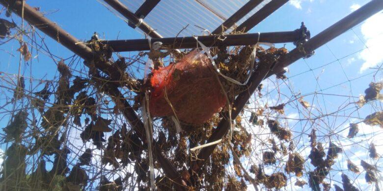 鳩の巣を玉ねぎの入っていたネットで補強