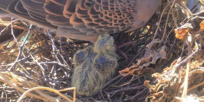 鳩の子育て観察