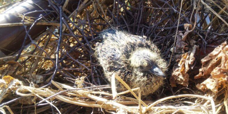 卵からかえって約1週間の鳩の雛
