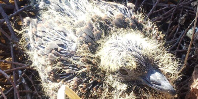 卵からかえって約1週間の鳩の雛 産毛ではない羽が生えてきています。
