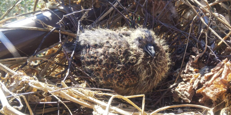 卵からかえって約10日の鳩の雛 羽に模様が出てきました。