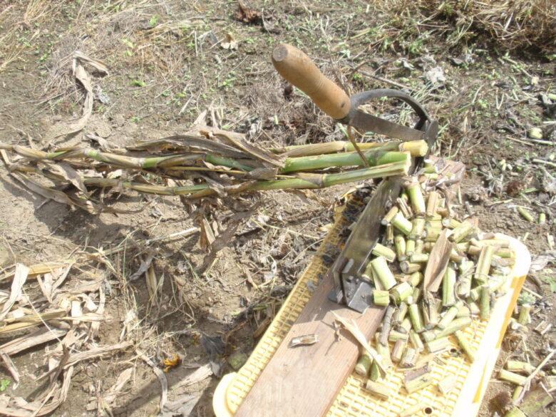 押切りを使って、トウモロコシの茎を切断処分
