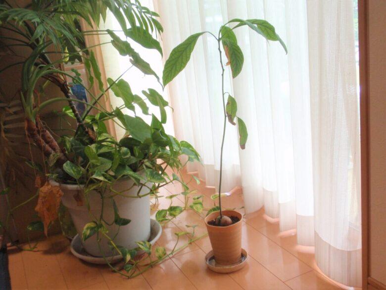 アボカド栽培10カ月後