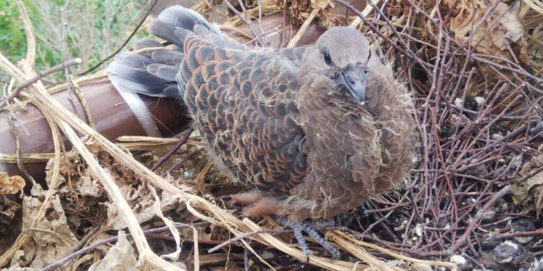 羽化してから2週間くらいの鳩の雛 ほぼ親鳩と同じような外観になっています。